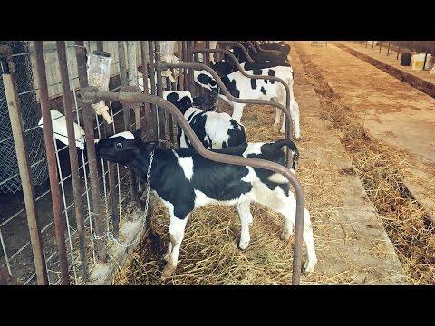 Raising Bottle Calves!