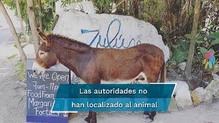 En el video se ve a un hombre ofreciendo cerveza al equino, por lo que usuarios de redes sociales denuncian esta acción y piden que el animal sea rescatado para ser llevado a un santuario