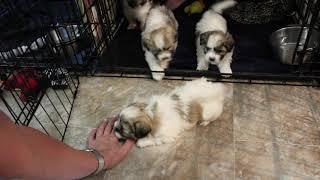 Coton Puppies For Sale - Eliza 5/12/20