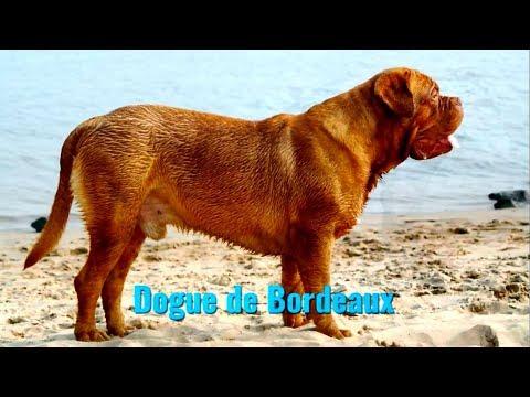 Dogue de bordeaux (french mastiff) Canis lupus familiaris