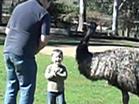 Lone Pine Sanctuary: Little Boy Feeding an Emu