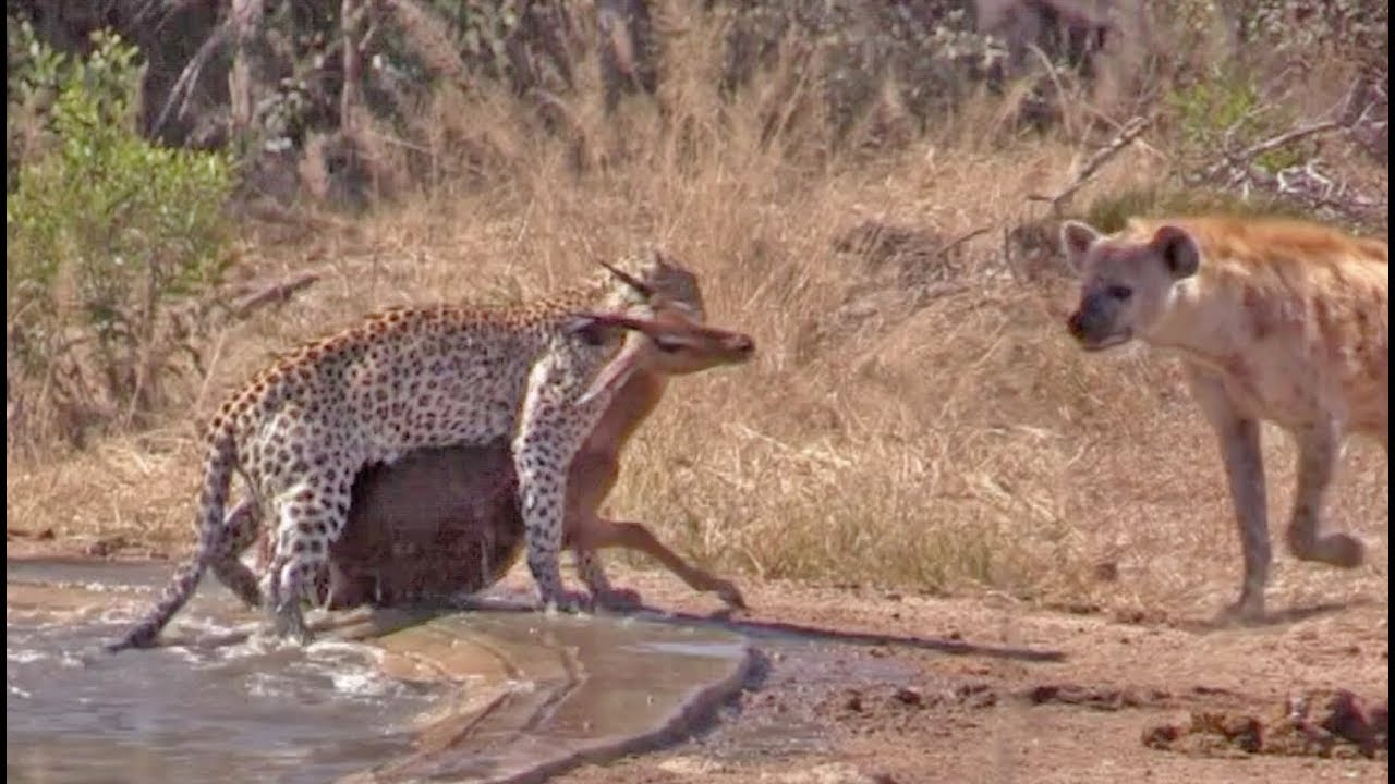 Hyena Indirectly Saves Impala from Leopard