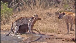 hyena-indirectly-saves-impala-from-leopard