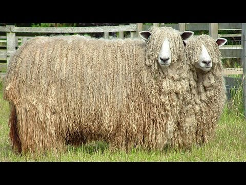 lincoln-sheep- -long-wool-fine-meat