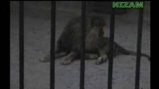 Pakism.com - A wonder of Islam - Lion saying ALLAH