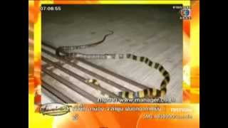 CH.3 news : อาเพศ งูสามเหลี่ยมกินงูจงอาง