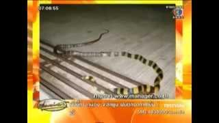 CH.3 news : อาเพศ งูสา...