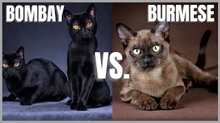 Bombay Cat VS. Burmese Cat