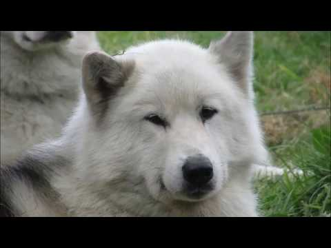 Akna Canadian Eskimo Dogs - Crufts winners