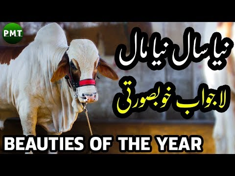 beauties-of-the-year-|-awesome-bulls-&-cows-for-sale-at-hasnain-cattle-farm-|-bakra-eid-2019-qurbani