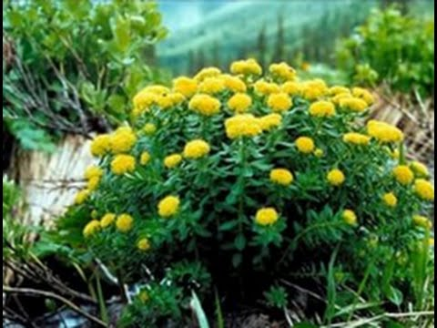 Золотой корень (Родиола) -