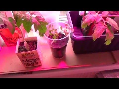 Как получить ранний урожай высокорослых томатов.
