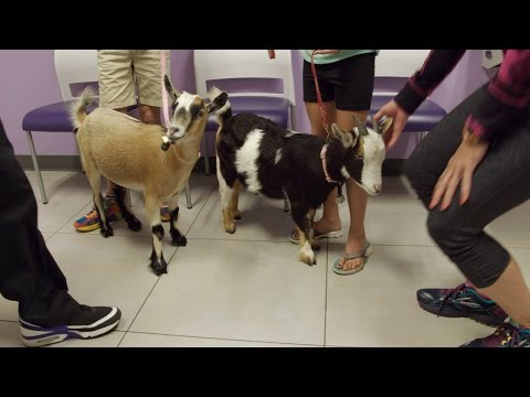 What Is Causing This Pet Goat's High Fever?   The Vet Life