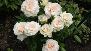 Розы для небольшого сада