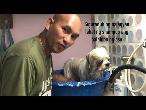 How to groom Lhasa Apso for dogshow. Bathing, Drying and Grooming.