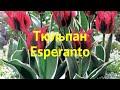 Тюльпан обыкновенный Эсперанто. Краткий обзор, описание характеристик tulipa Esperanto