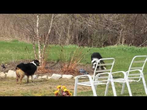 Australian Shepherd Intruder Alert