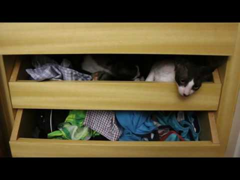 Cornish Rex KITTENS where? they found  new favorite place