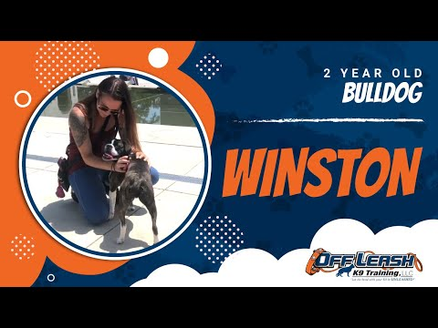2yr old Winston, Best Boston Terrier Dog Trainers, Best French Bulldog Dog Trainers