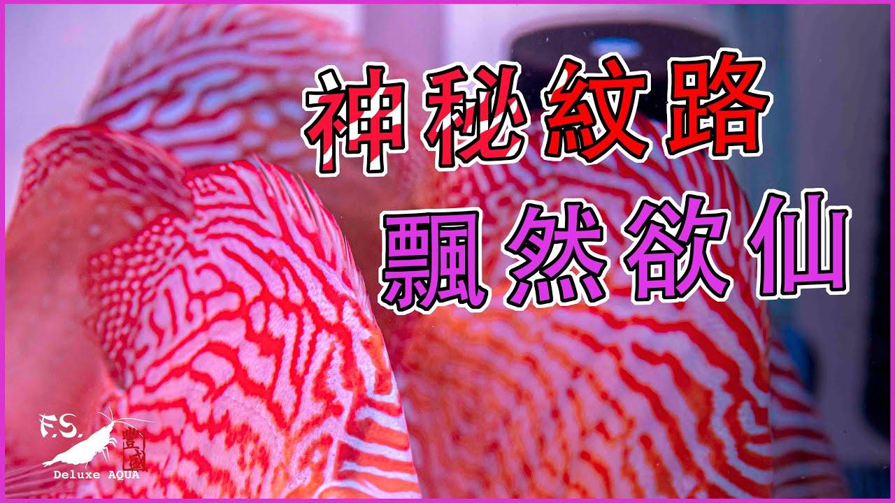 【水寵系列EP.1】公認最難養!永不退流行!七彩神仙魚飼養介紹  水族日常|我只是個養蝦的