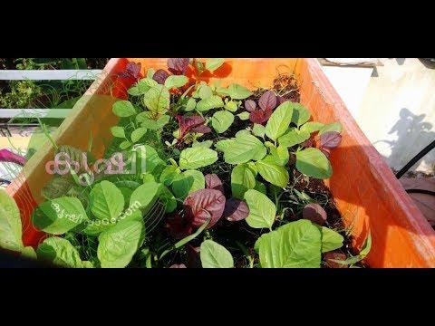 ചീരകൃഷിയിലെ കളനിയന്ത്രണം - importance of weed control in terrace garden