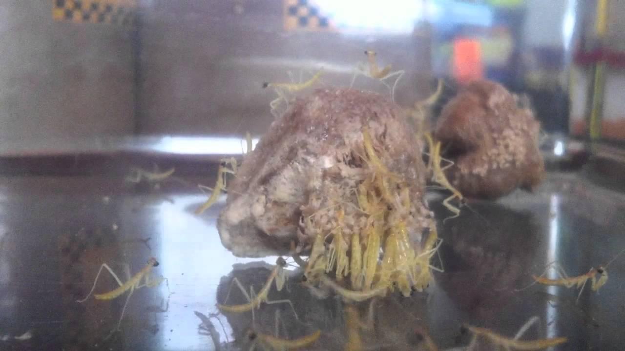 Praying Mantis Egg Sack Hatching Youtube