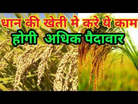 धान की खेती- से अधिक उत्पादन कैसे करें । dhan ki kheti mein naye ayam- रिकॉर्ड ।खैरा रोग में zincsu