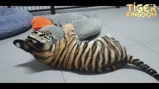 Panwa the Tiger Cub - Tiger Kingdom Phuket - May 2020