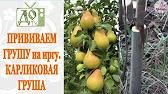 История ПРИВИВОК. Как прижились ПРИВИКИ на плодовых деревьях .