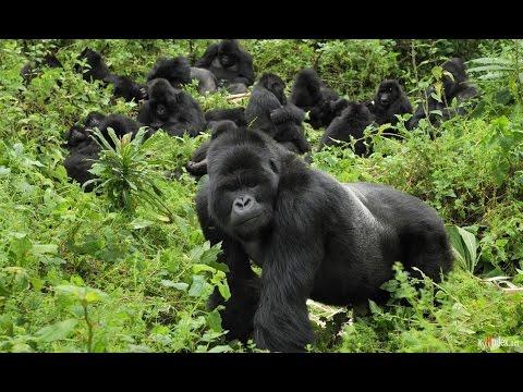 Приматы Гориллы Жизнь в джунглях Документальный фильм