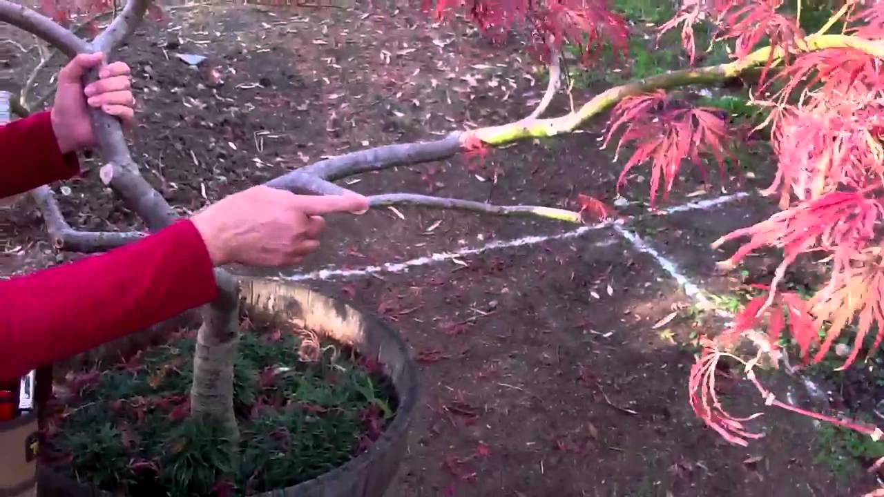 Art Of Pruning Japanese Maples Maples For All Seasons Online Store
