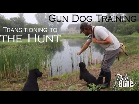 gun-dog-training:-transitioning-to-the-hunt-|-part:-#1