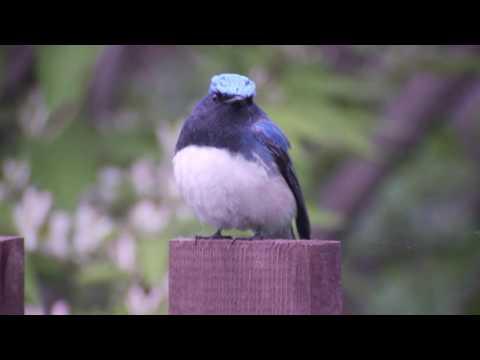 Blue and White Flycatcher ( Cyanoptila cyanomelana)