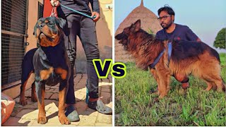 Rottweiler vs German Shepherd which is Best for you