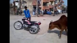 LUCU!!! Kumpulan Video sapi mengamuk