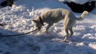 我が家の紀州犬です。甘えているのか構ってほしいのか・・・。