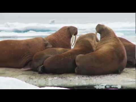 Tracking Pacific Walrus: Expedition to the Shrinking Chukchi Sea Ice