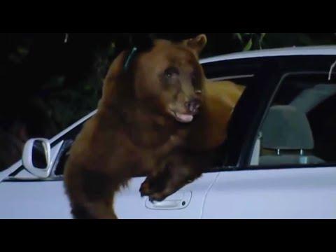 Uważaj na niedźwiedzie...