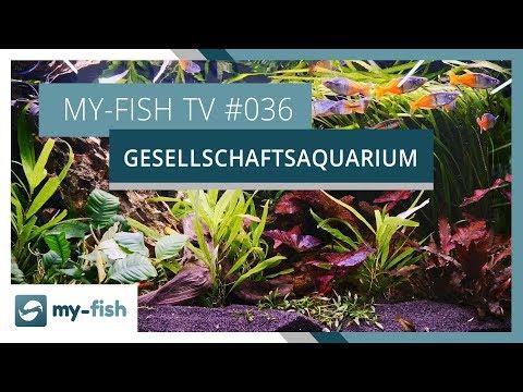Das Gesellschaftsaquarium | my-fish TV