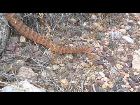 Rattle Snake @ Sabino Canyon.  Tucson, AZ USA