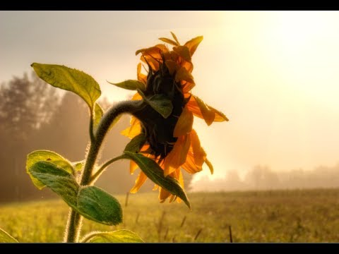 how-to-grow-sunflowers---growing-sunflowers-from-seed