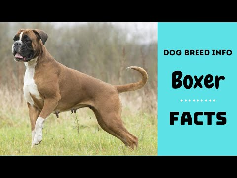 Boxer dog breed. All breed characteristics and facts about boxer dogs.