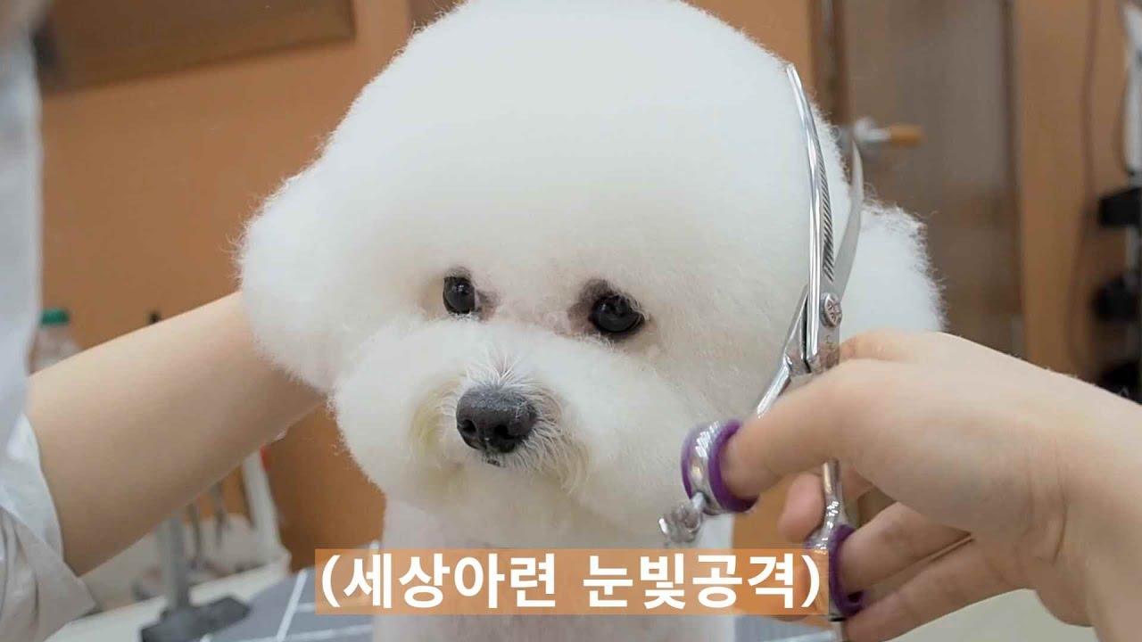 눈빛공격이 통하지않자 그녀가 선택한 방법/퍼피썬,비숑미용,비숑가위컷,애견미용,강아지미용,doggrooming,bichon,groomer