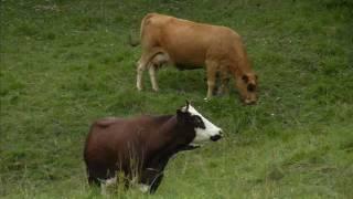 Vaches de la Grande Chartreuse   .wmv