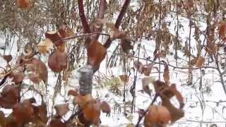 Осенняя заготовка черенков яблони