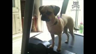 Puggle Works Out Without Breaking A Sweat