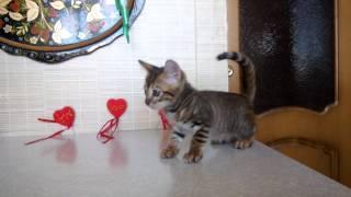 Уник - котенок породы тойгер. Питомник FairyBerendey