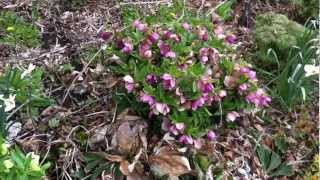 Pruning Hellebore or Christmas Rose in Cold Climates: Perennial Flower Gardening Tips