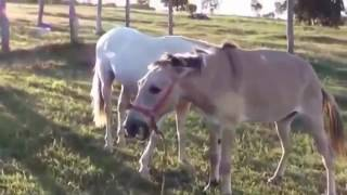 Breeding Pony Horse Mating Travel And Golden Business Around Mating Animals 1