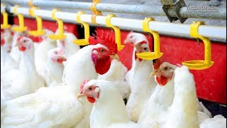 Intelligent Technology at Poultry Farms Broiler Multi Tier Colony System Smart Poultry Farm